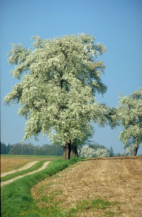 Hochstämmiger Mostbirnbaum in der Blüte